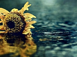 reflection, Sunflower, water