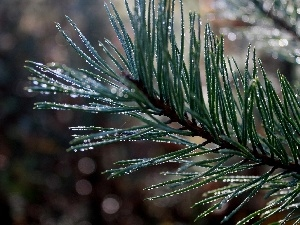 Rosy, trees, pine, drops, branch