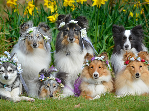 Wreaths, Flowers, Shetland Sheepdogs, Border Collie, Dogs