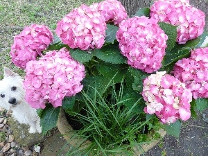 small, doggy, hydrangea, hidden, Pink