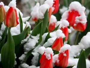 Red, Covered, snow, Tulips
