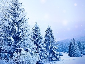 Spruces, forest, Snowy