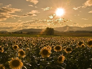 sun, Field, sunflowers