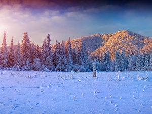 Spruces, Sunrise, Mountains, forest, winter