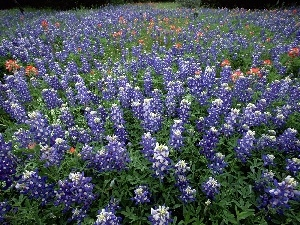 Field, Hill Country, Teksas, Lupin