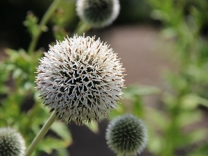 Echinops, White, Colourfull Flowers