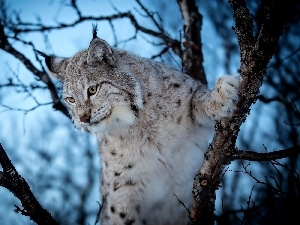 trees, Lynx, branches