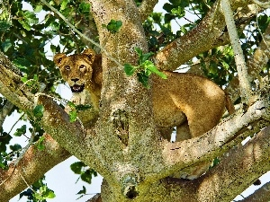 Lioness, trees