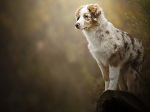 trunk, Bush, Australian Shepherd, cored, Puppy