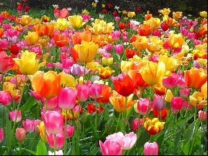 Tulips, Flowers, color