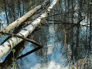 viewes, birch, fallen, trees, water