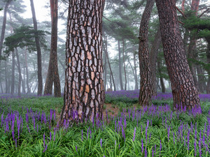 pine, trees, purple, viewes, forest, Stems, Flowers