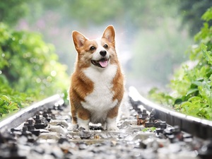 dog, ##, Leaf, Welsh corgi pembroke