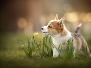 Flowers, Jonquil, Puppy, Welsh corgi pembroke, dog