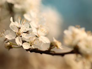 twig, White, Flowers, Fruit Tree