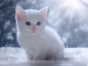 kitten, Blue Eyed, White