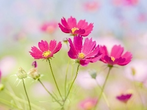 Cosmos, Pink, Flowers
